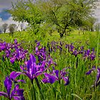 Wild Iris ~ Finley Refuge ~ by Charles & Patricia   Harkins ~ Picture Oregon