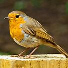 Robin by Colin Metcalf