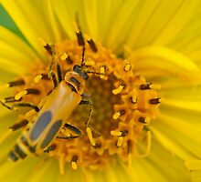 Goldenrod Soldier Beetle on Cup Plant Flower by Robin Clifton