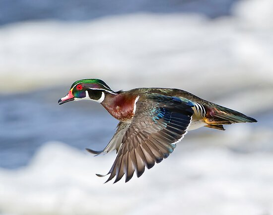Wood Duck  by Daniel  Parent