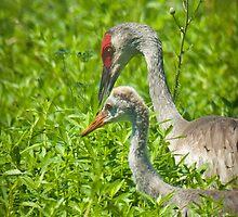 """""""Watching Over"""" - Sandhill Crane Keeping Eye On Juvenile by John Hartung"""
