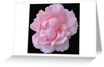 Pastel Rose by Mistyarts