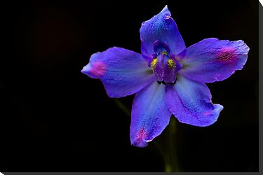Delphinium grandiflorum - Summer Nights by Megan Noble