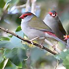 Red-browed Finch - Neochmia temporalis by Andrew Trevor-Jones