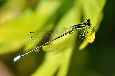 Damselfly by William Brennan