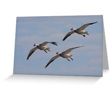 Snow Geese Trio Greeting Card