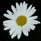 Daisy, Daisy by Lynn Bolt
