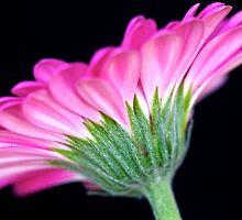 Pink Gerbera by Mihaela Limberea