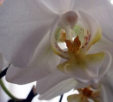 Transparences on a Phalaenopsis by sstarlightss