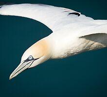 Gannet in Flight #3 by Chris West