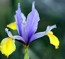 Iris in Blue & Yellow by Frank Olsen