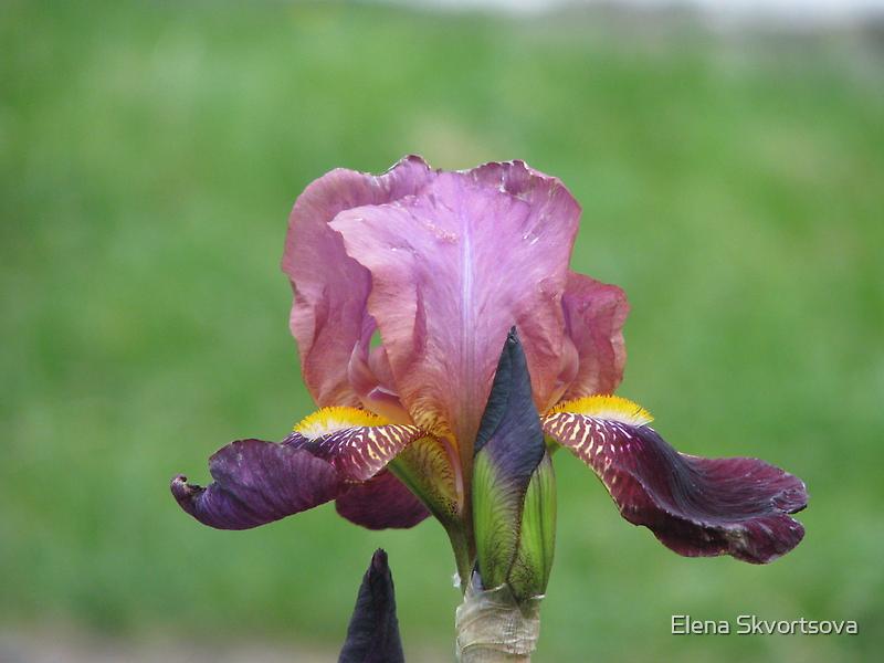 Purple Iris by Elena Skvortsova
