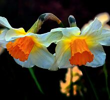 Daffodils Out Of The Dark by Charles & Patricia   Harkins ~ Picture Oregon