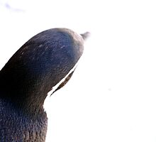 Penguin - Look Into The Light by AmandaJanePhoto