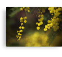Spring Wattle Canvas Print
