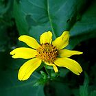 Woodland Sunflower (Helianthus divaricatus ) by ChuckBuckner