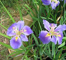The Blue Water Iris by Rocksygal52