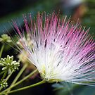 Calliandra by Linda Makiej