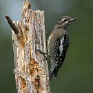 Young Yellow-bellied Sapsucker by Bill McMullen