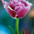 Ruffled Parrot Tulip by Renee Hubbard Fine Art Photography
