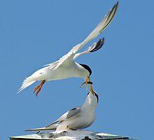 Least Terns Feeding by thatche2