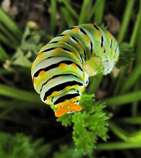 Warning - Black Swallowtail Caterpillar in Parsley Patch by aprilann