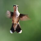 A Young Male Ruby Throated Hummingbird by barnsis