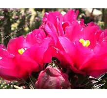 Flower Fish Comes Up For Air - Pink Prickly Pear Cactus Flowers Photographic Print