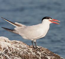The Panting Adult Caspian Tern by DigitallyStill