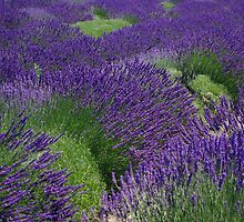 The Lavender Harvest by Sheri Bawtinheimer
