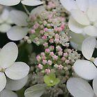 Hydrangea serrata by karina5