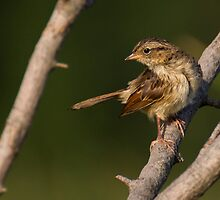 Song Sparrow by Jeff Weymier