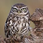 Little Owl by Graham Jones