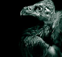 Andean Condor in monochrome by alan shapiro