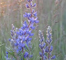 Soft Lupins by Kathi Arnell