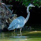 Blue Heron Wadding by camerawoman1
