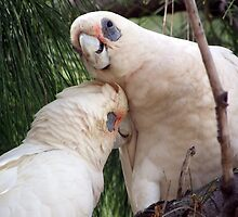 Corellas having a cuddle  by Angie66