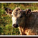 A cow named Curley by AngieBanta