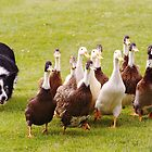 Ducks being herded by a Border Collie. by AlbertLake