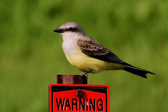 Western Kingbird by Larry Trupp