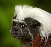 Cottontop Tamarin by Mark Hughes