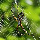Black and yellow garden spider(orbweaver) by jozi1