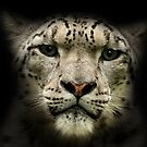 Snow Leopard (Uncia uncia or Panthera uncia) by Mark Hughes