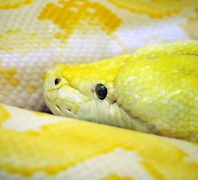 Lavender Reticulated  Python by NVSphoto