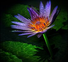 waterlily II by carol brandt