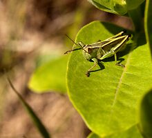 Grasshopper Perched on Milkweed by April Koehler