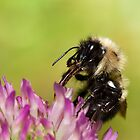 Bumblebee Feeding on Nectar by April Koehler
