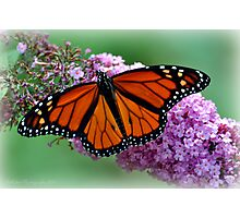 Nature's Beauty~The Monarch Butterfly Photographic Print