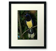 Plush-crested Jay Framed Print
