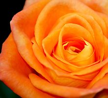Orange Rose by Neha  Gupta